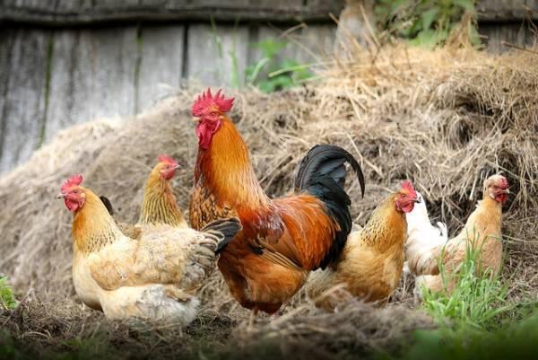 لطفا دروغ نگویید/صف تهیه مرغی در کرمانشاه مشهود نیست یا هست