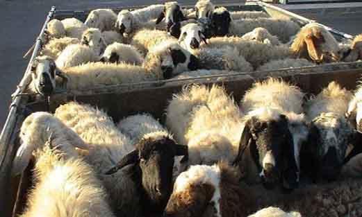 """سرقت ۴۲ راس گوسفند در """"شهرستان صحنه"""" پس از توزیع آبمیوه خواب آور"""